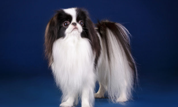 Mały pies, duży problem, czyli zespół Legg-Calve'a-Perthesa