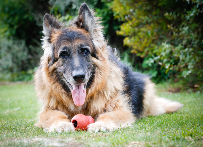 Zdrowie psa seniora