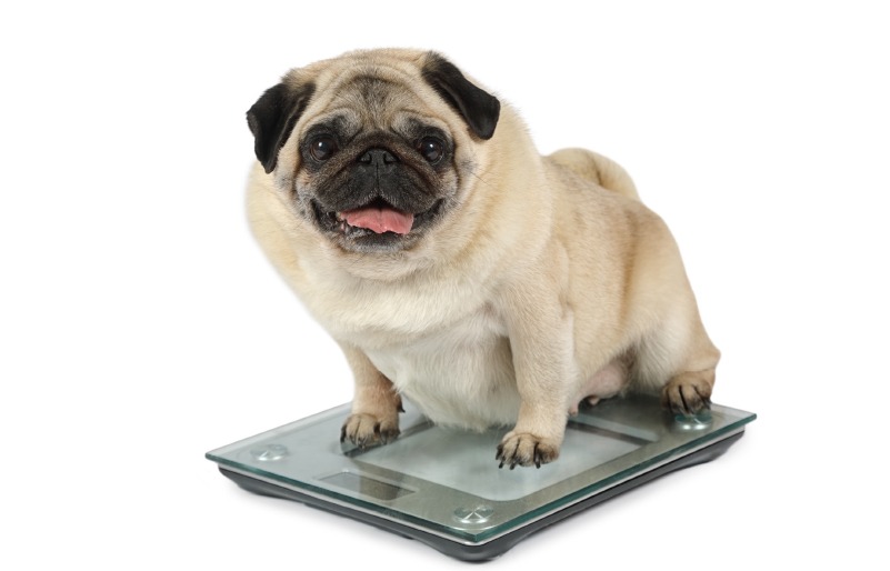 Mój pies nie jest gruby, tylko dobrze wygląda…