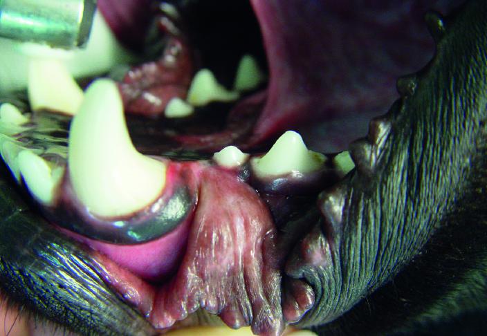 Otwórz buzię czyli pies u dentysty
