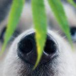 Olej konopny dla psa – działanie i zastosowanie