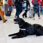 Psy mogą wywąchać koronawirusa!