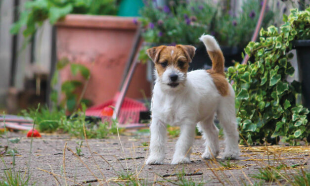 Rasa miesiąca – Jack Russell Terrier