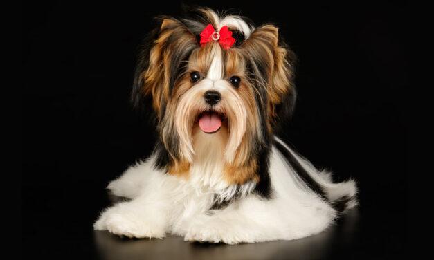 Nowa rasa psów uznana przez AKC!