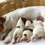 Mykoplazmy wrozrodzie psów, czyli mała wielka niewiadoma