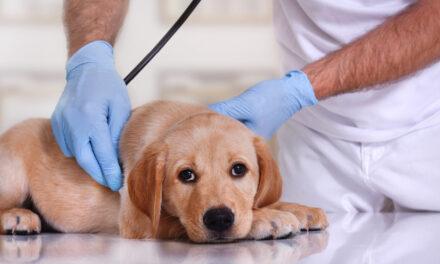 Żywienie psów zIBD Oczym trzeba wiedzieć?