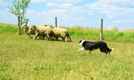 Pasterstwo Czy każdy pies to potrafi?